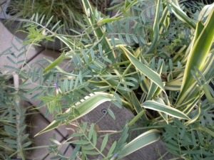 Coronilla varia L.