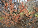 Hamamelis vernalis (Vernal Witchhazel)