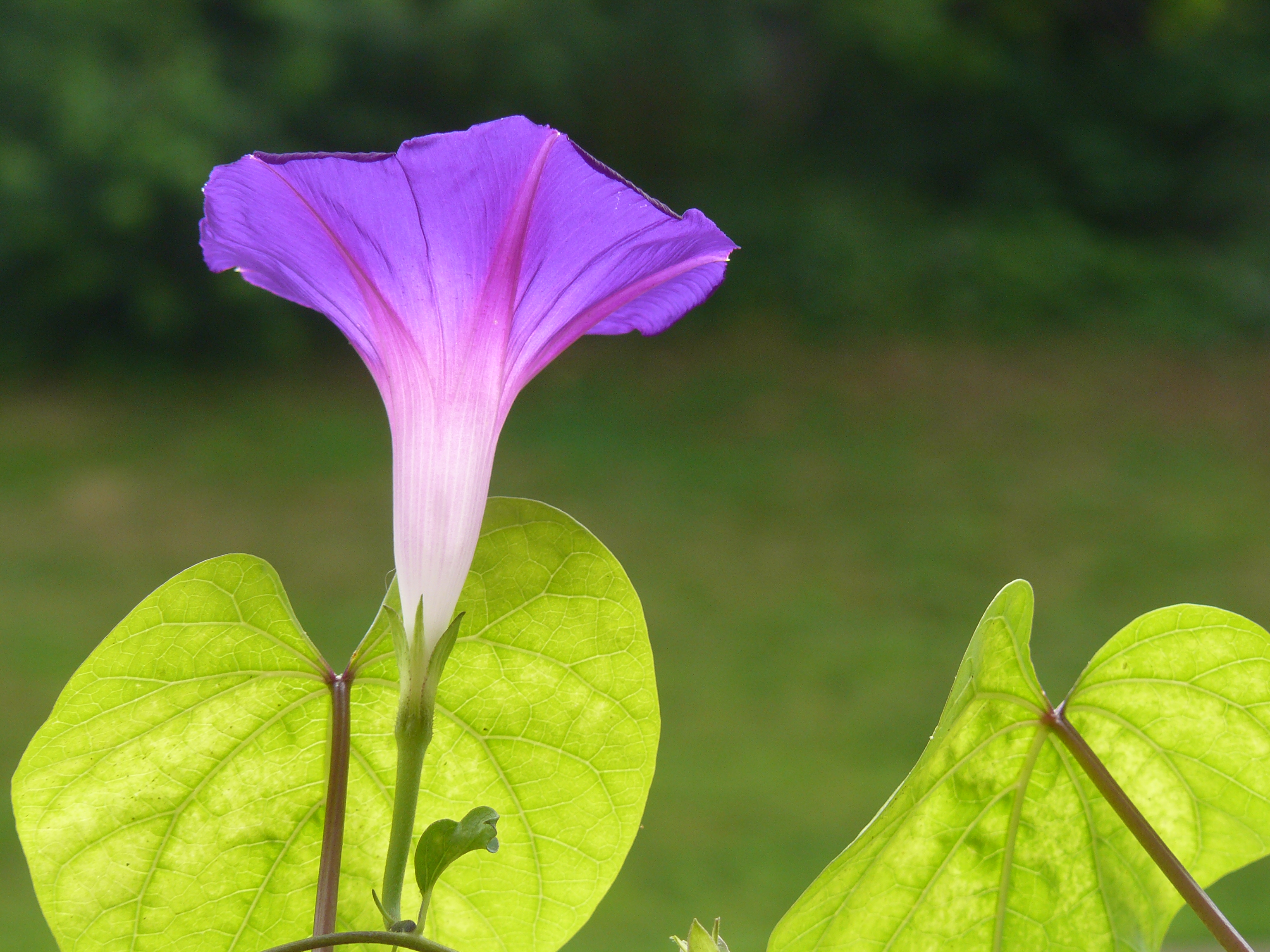 Night and Day The Difference Between a Morning Glory and a Moonflower