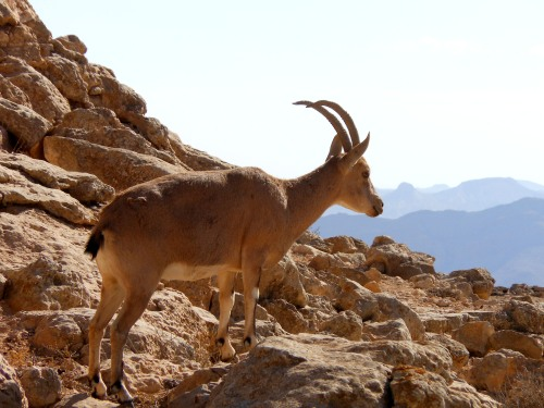 Nubian Ibex Standing at the Ramon Crater, Negev Desert