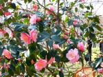 An Unexpected Show from Camellia 'Bernice Boddy'