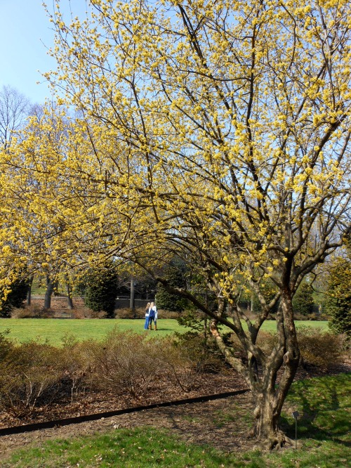 Cornus Mas, With Yellow Flowers, is an Underused Gorgeous Specimen Tree
