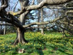 Daffodil Hill at Brooklyn Botanic