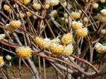 Edgeworthia chrysantha with Pale Yellow Blooms in March