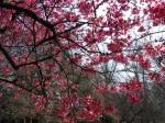 Closeup Shot of Prunus 'Okame' Japanese Flowering Cherry
