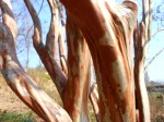 The Seductive Bark of Lagerstroemia indica 'Natchez'