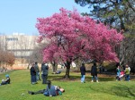 Prunus 'Okame' In Full Glory at Brooklyn Botanic