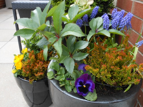 Hellebore, Heather, Pansies and Grape Hyacinth Create a Sophisticated Spring Planting