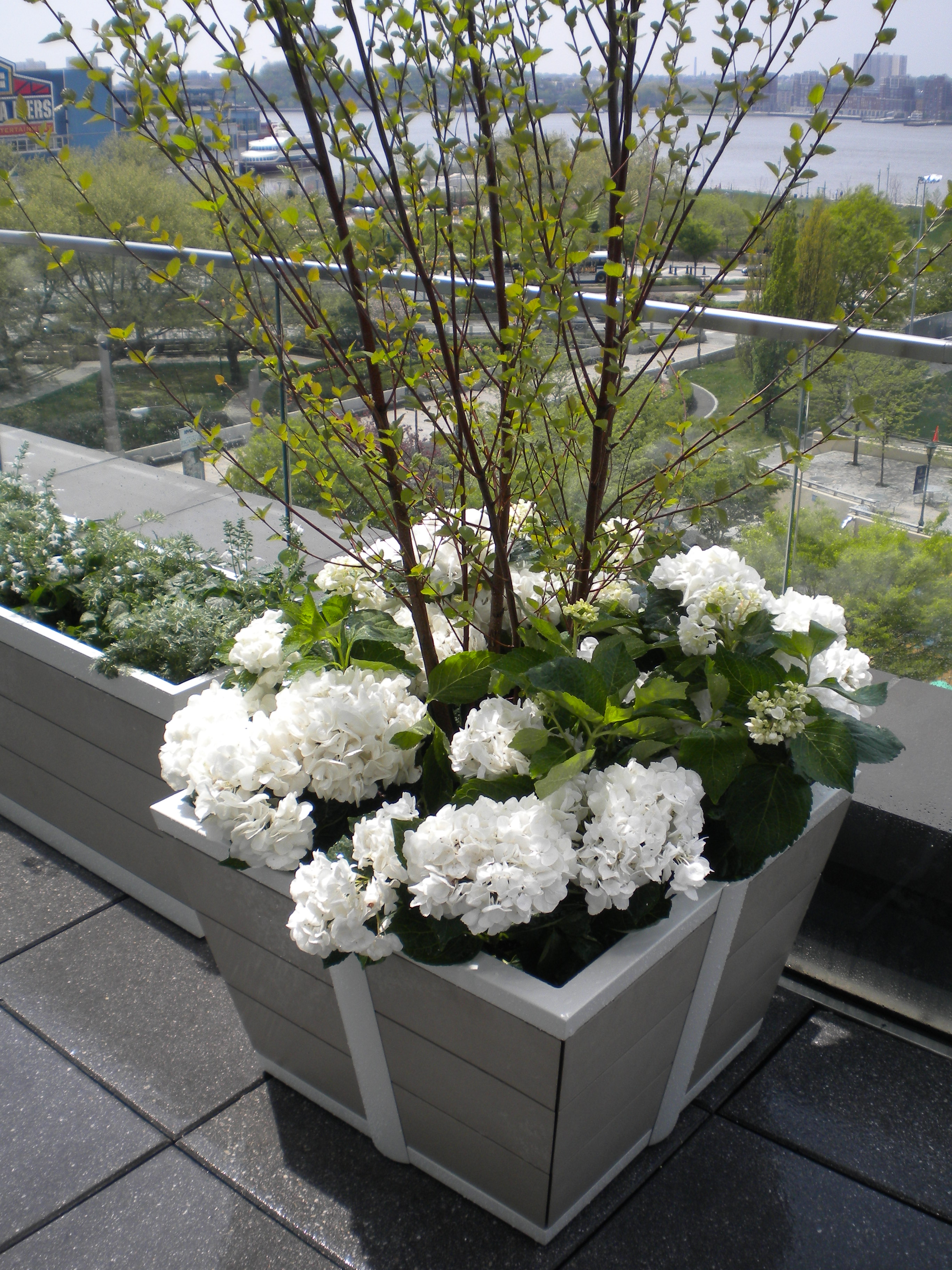 Sophisticated spring planting erbology classic white hydrangeas a simple spring planting mightylinksfo
