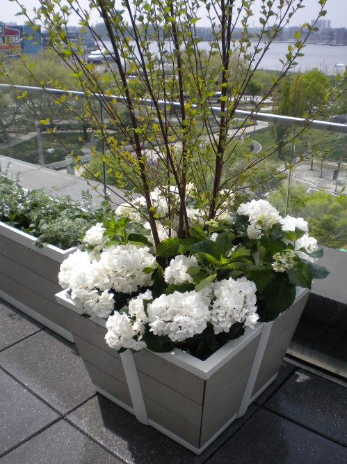Classic White Hydrangeas, a Simple Spring Planting